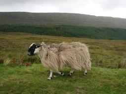 sheep-108422_1280